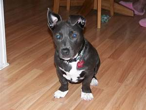 Pitbull and Dachshund mix | PITBULLS-STOP THE HATE | Pinterest