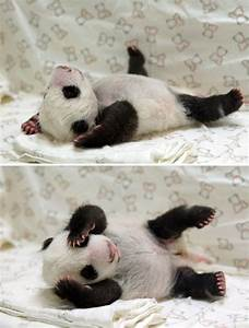 Cute animal pictures - Baby panda sleeping - goodtoknow