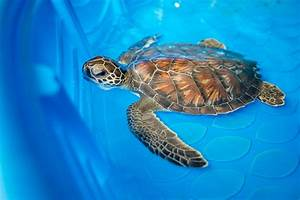 Sea Turtle Hospital Patient - Chex   Clearwater Marine ...