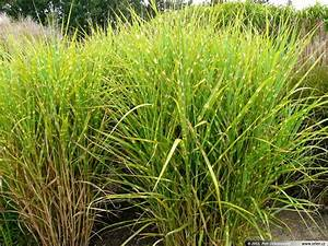 Miscanthus Sinensis | www.imgkid.com - The Image Kid Has It!