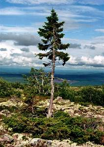 World's Oldest Living Trees | moco-choco