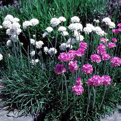 thrift plant landscaping mississauga gardens very drought tolerant perennial flowers mississauga