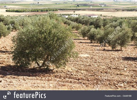 agriculture  forestry olive plantation stock picture