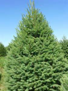 wholesale douglas fir trees