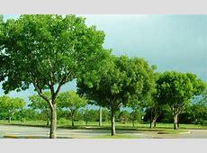 National Tree Of BelizeHonduras Mahogany 123Countriescom