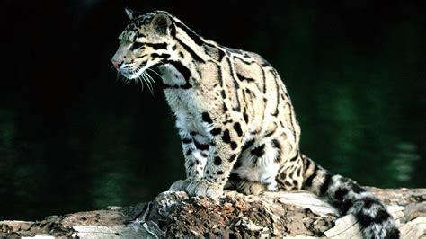 animals reki leopards clouded neofelis nebulosa wallpaper