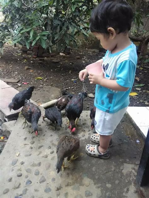 mewarnai gambar memberi makan ayam