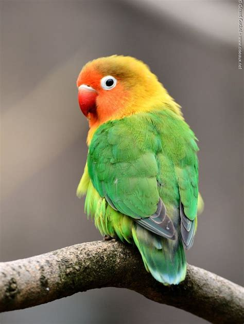 agapornis fischeri wildkleur dieren parkieten en vogels
