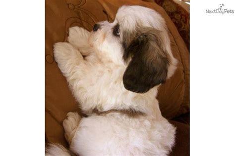 mal shi malshi puppy for sale near texoma texas