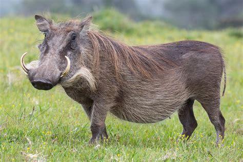 warthog facts history  information  amazing