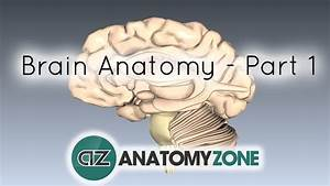 Basic Parts Of The Brain - Part 1