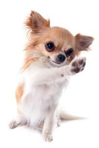 Chihuahua Dog Paws