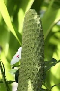 Schimmel In Pflanzen : philodendron baumfreund pflege vermehrung ~ Bigdaddyawards.com Haus und Dekorationen