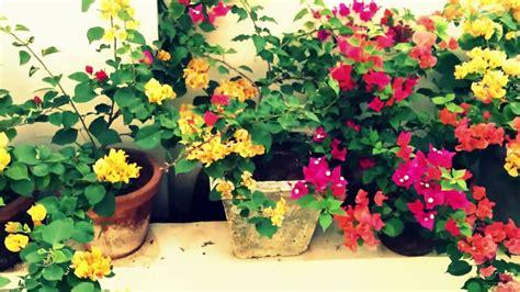 kerala home garden bougainvillea youtube
