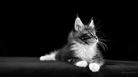 Cat Hd Wallpapers