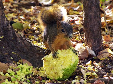 do squirrels like oranges top 28 do squirrels like oranges mammals my beautiful world my squirrel friend orange