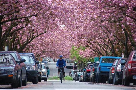 vancouver cherry april festival blossom tree bloom canada spring things streets blossoms park bike between end lined courtesy through events