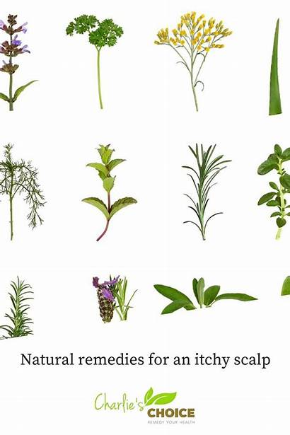 Itchy Scalp Remedies Natural Apothecary