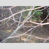Hawthorn Tree Thorns | 640 x 480 jpeg 151kB