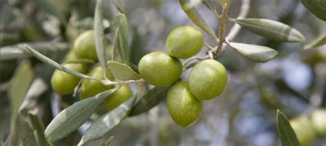 les vari 233 t 233 s d oliviers en rance mon olivier de provence
