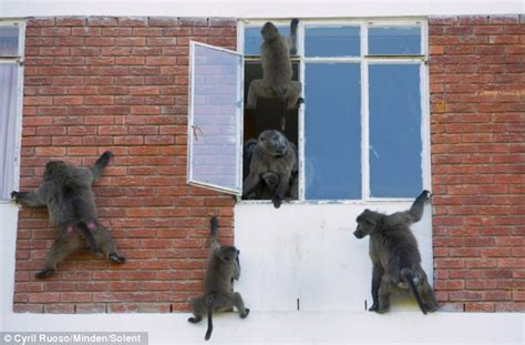 Cheeky monkeys! Baboons wreck havoc in a flat while the