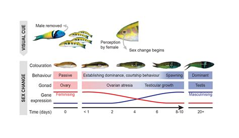 change fish changing say female wrasse male scientists unlocked mystery bluehead hypothesis todd erica revealed secrets dominant loss signals pa
