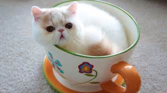 teacup cats for teacup cats miniature cats and cats purrfect cat breeds