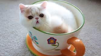 teacup cats jumbo teacup kitten