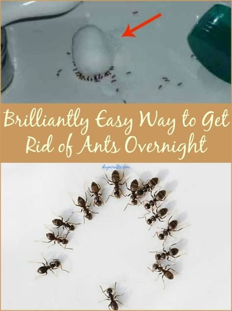 how to get rid of ants in the house brilliantly easy way to get rid of ants overnight diy