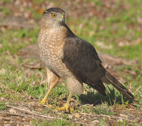 cooper s hawks identification