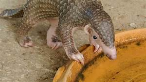 Baby Scaly Palawan anteater/pangolin eating ants and ...