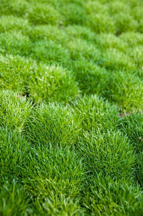 sternmoos sagina subulata veg guenstig  kaufen