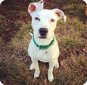 Celeste | Adopted Dog | Oak Park, IL | American Bulldog ...
