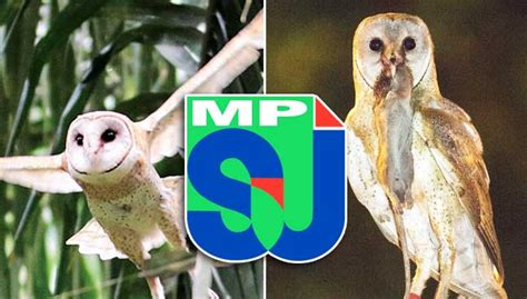 Barn Owl Malaysia by More Owls For Subang Jaya But Is It A Wise Move Free