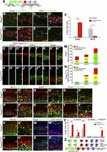 Foxg1 Coordinates The Switch From Nonradially To Radially Migrating Glutamatergic Subtypes In