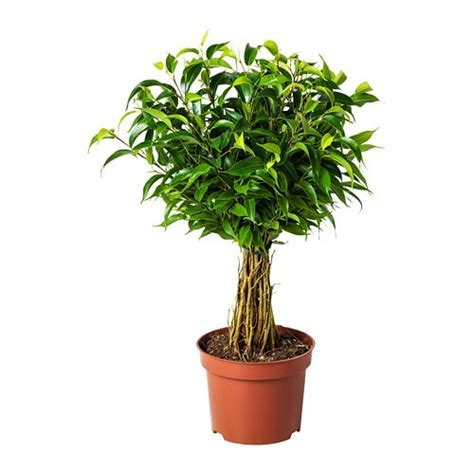 FICUS BENJAMINA 'NATASJA' Potted plant Weeping fig 12 cm