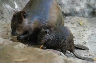 American Beaver Animals
