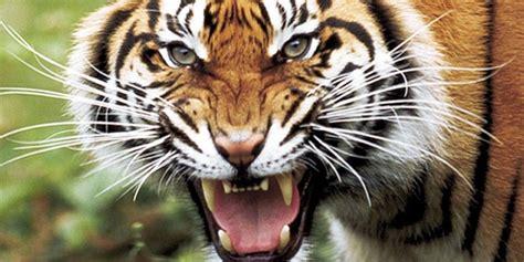 Paris  Un Tigre De Cirque Abattu, Son Propriétaire Placé
