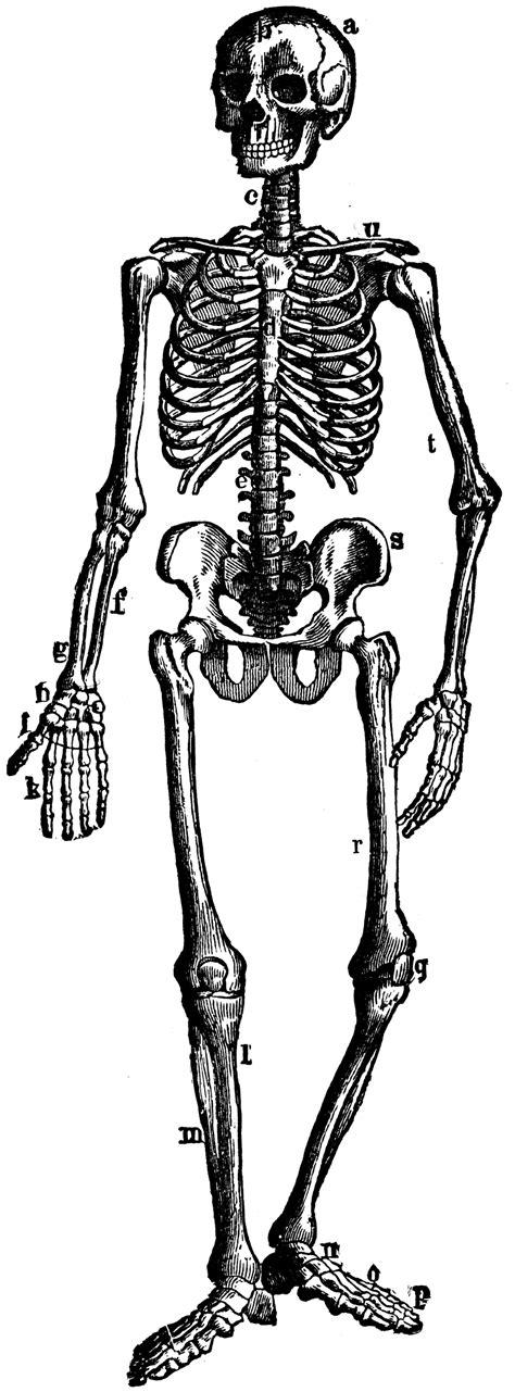 skeleton clipart the human skeleton clipart etc