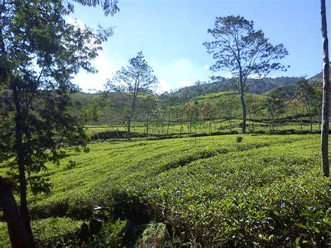 rihlah  kebun teh satu mimpi satu tujuan  negeri