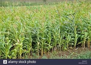 Farm Of Maize  Family  Poaceae  Genus  Zea  Species  Z