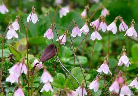 flowers of sweden national flower of sweden linnea 123countries com