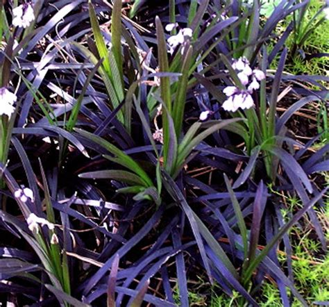 Kartuz Greenhouses: Ophiopogon planiscapus Nigrescens