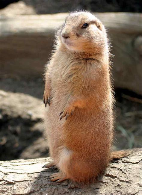 prairie dogs holly anthony our very own pet prairie dog