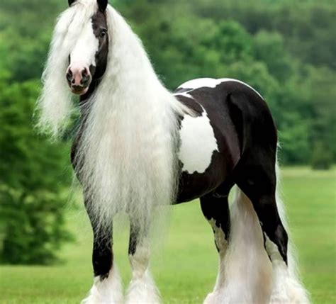 horse mane tail horses called patches body its main type coat tinker few