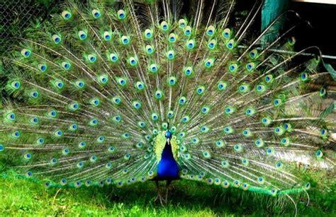 benarkah burung merak  hewan surga  jatuh  bumi bersama iblis wajib baca