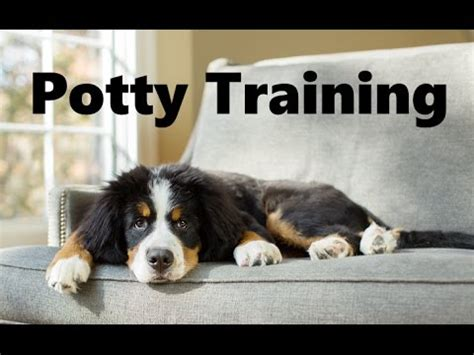 How To Potty Train A Bernese Mountain Dog Puppy House Training Bernese Mountain Dog Puppies
