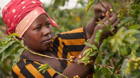 There are many different rwanda coffee regions (7), but some stand out more than others. Women Playing a Vital Role in Rwanda's Economic Development as Contenders in the Coffee Industry ...