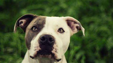 wallpaper pitbull dog cute animals  animals