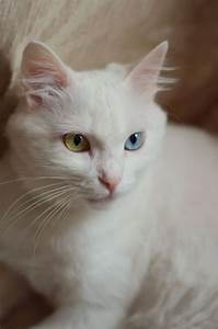 98 best Cats-Blue and Amber Eyes... images on Pinterest ...